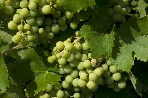 Huelva viñedos hsm