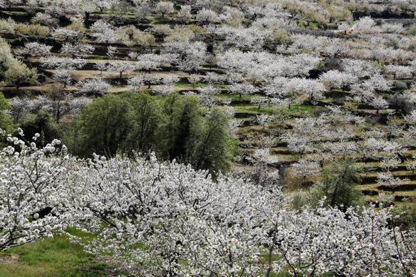 fotos-extremadura-valle-jerte-cerezos-flor-024
