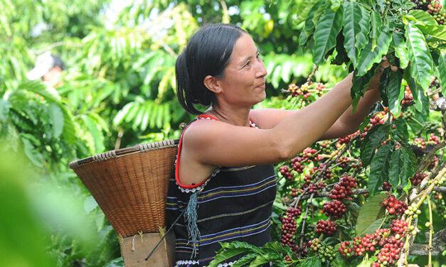 El fascinante proceso de la recolección del café